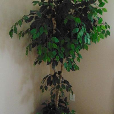 16  Ficus tree