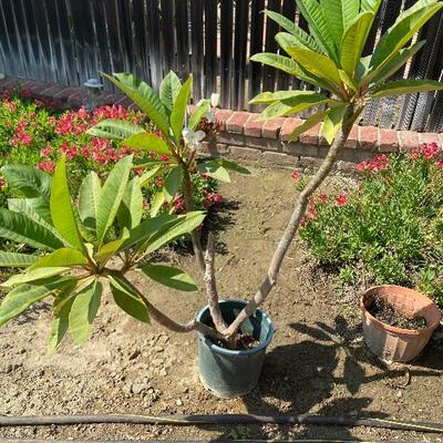 Potted Plumeria Flower Plant