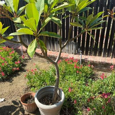 Large Potted Plumeria