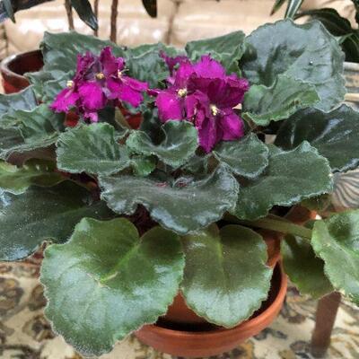 L1:  Live African Violet House Plant