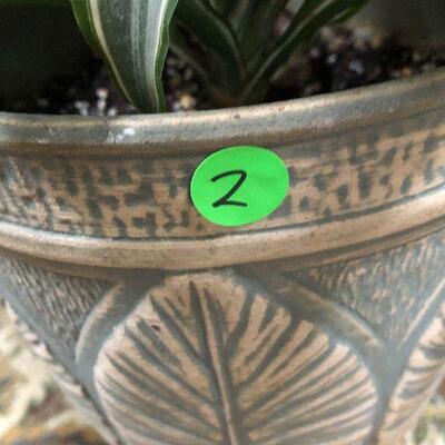L2: Live Dracaena Reflexa House Plant