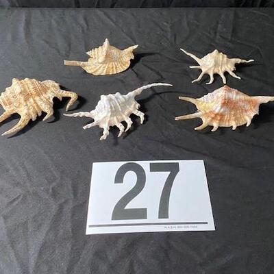 LOT#27D: Scorpion Spider Conchs