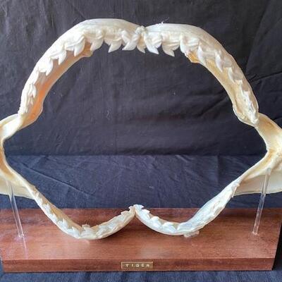LOT#W5: Tiger Shark Jaw