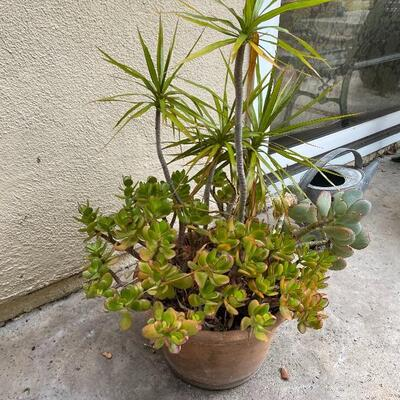 Large potted plant in terra cotta pot