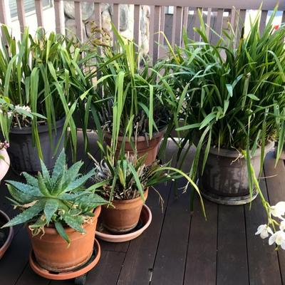 large orchids, citrus, and succulent plants in containers.