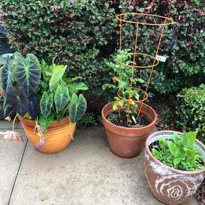 Potted Plants - including a Tomato Plant.