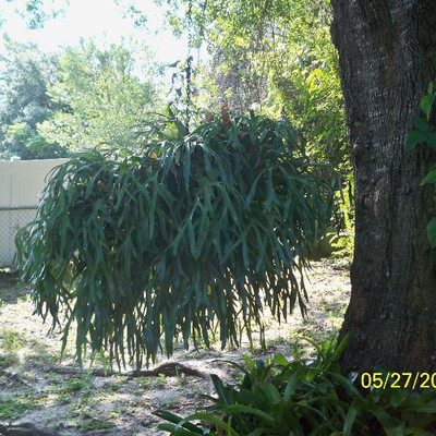 LARGE 20+ Years old Staghorn Fern