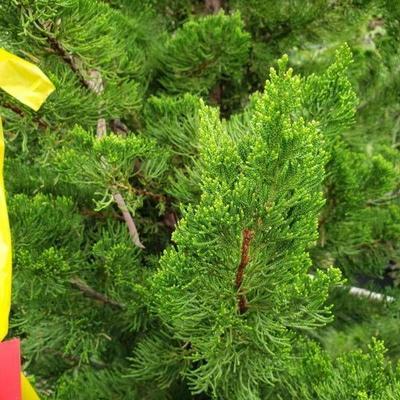 Hollywood juniper 25 gallon pot