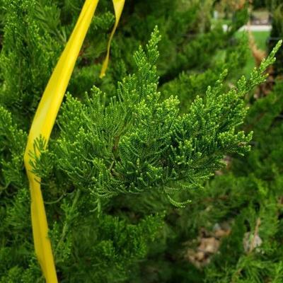 Hollywood juniper tree 25 gallon container