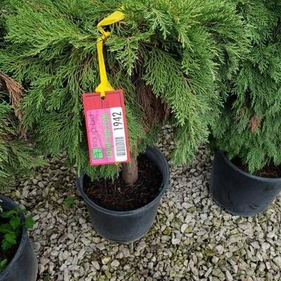 Russian Cypress standard tree 5 gallon pot