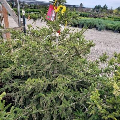 Compact oriental spruce 30 tall