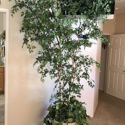 Silk tree $25