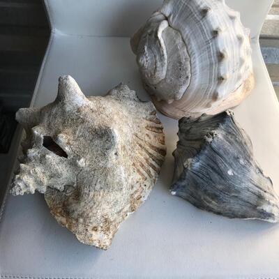 Conk shells largest $25 medium $20 small $15