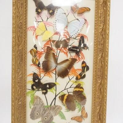 1095REAL BUTTERFLY COLLAGE W/ PAINTED BACKGROUND IN AN ORANTE GOLD FRAME W/ CONEX GLASS SIGNED IN PENCIL RIO DE JANEIRO 13 1/2 X 23 IN...