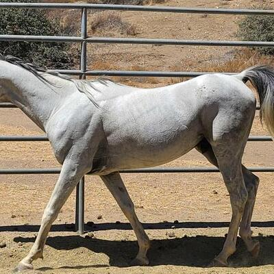 117  Marhiv Ra Grey Arabian stud. No nickname available. This stud was born on 9/10/12. Currently 8 years old and stands at 14.1h.  REG...